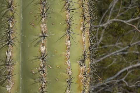 Photograph of saguaro cactus ©2007 Lisa Call